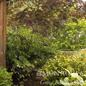 #5 Albizia julibrissin 'Chocolate Fountain'/Mimosa Tree