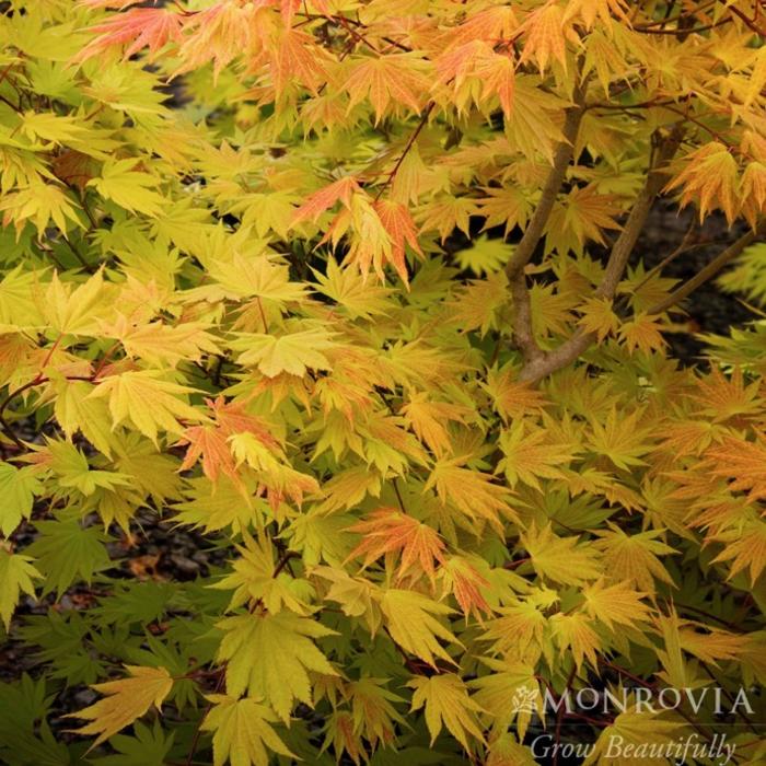 #6 Acer shir Autumn Moon/Fullmoon Maple