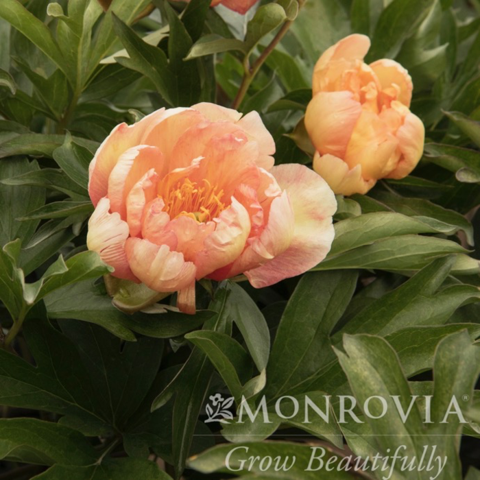 #5 Paeonia Itoh Singing In The Rain/Hybrid Tree Peony Salmon to Yellow