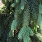 #10 Picea pungens The Blues/Weeping Blue Spruce