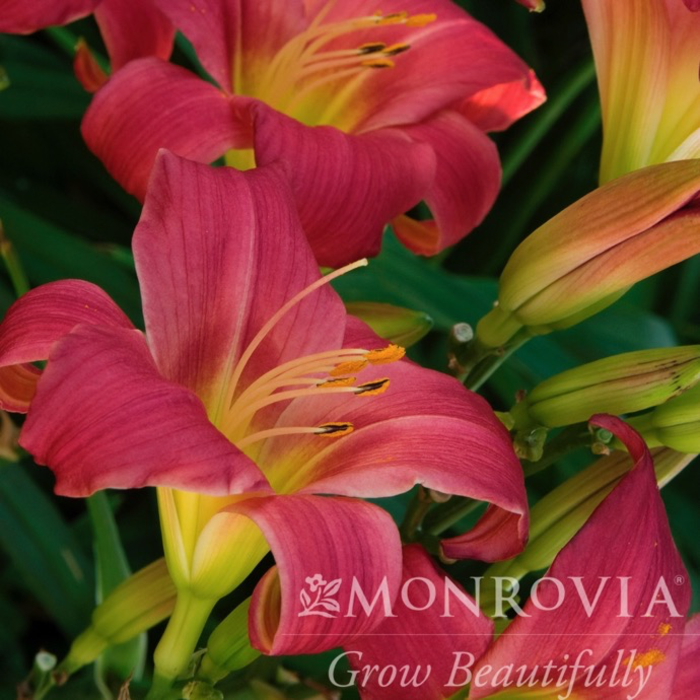 #1 Hemerocallis Little Business/Repeat Daylily