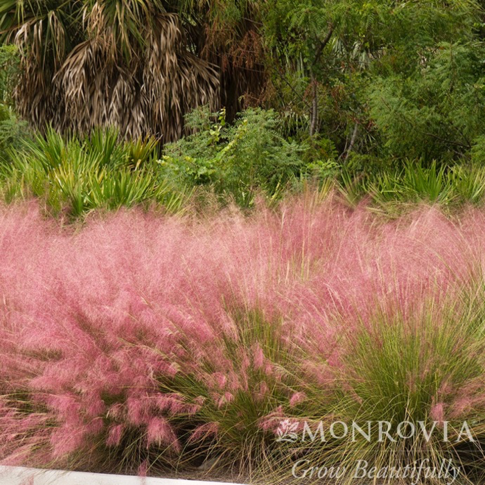 #1 Grass Muhlenbergia capillaris Regal Mist/Pink Muhly