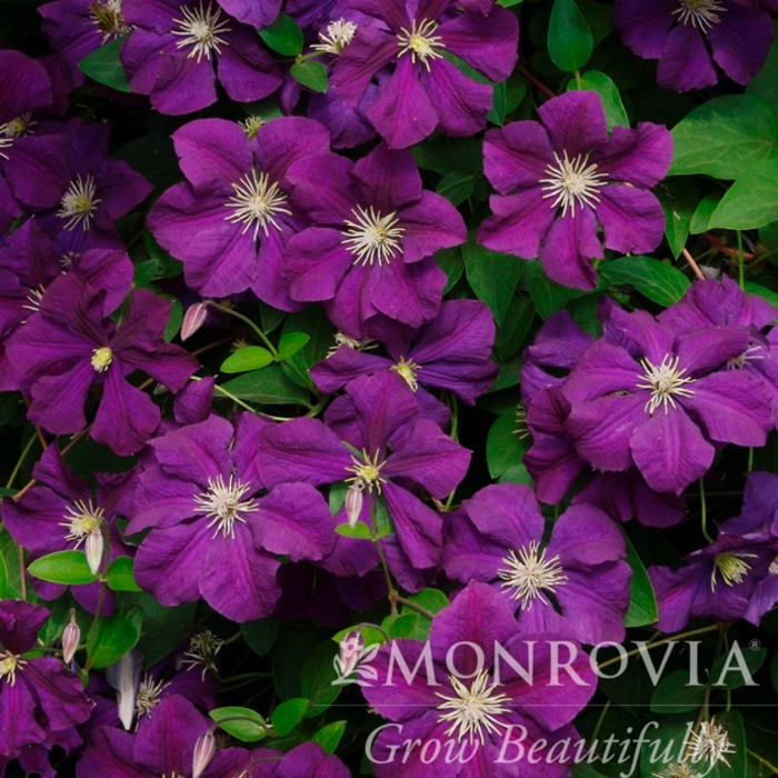 #1 Clematis x jackmanii/Dark Purple