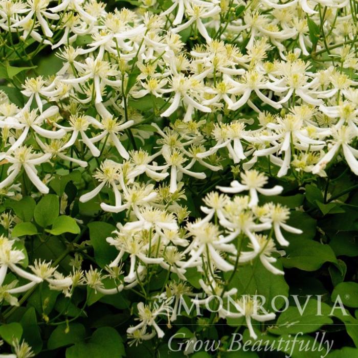 #1 Clematis paniculata/Sweet Autumn