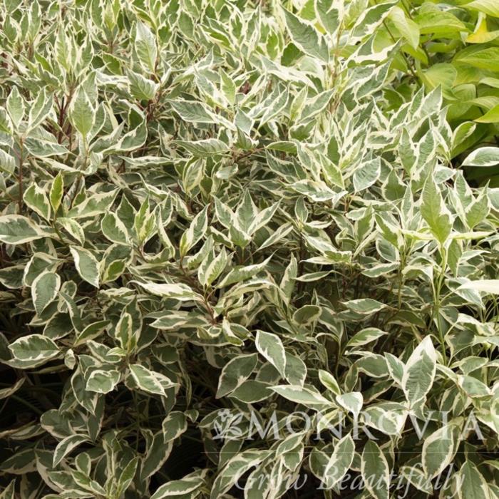 Topiary Patio Tree #5 Cornus alba Elegantissima/Tatarian Red Twig Dogwood Variegated