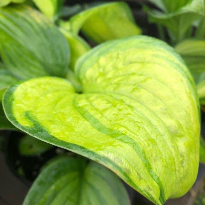 #1 Hosta x 'Guacamole'/Green w/Chartreuse