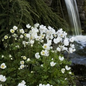 #1 Anemone sylvestris/Snowdrop