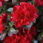 #2 Azalea Encore Autumn Fire/Repeat/rose red