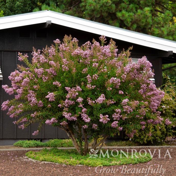 #15 Lagerstroemia x Muskogee/Crape Myrtle Light Lavender
