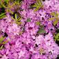 #5 Rhododendron catawbiense 'Boursault' NO WARRANTY