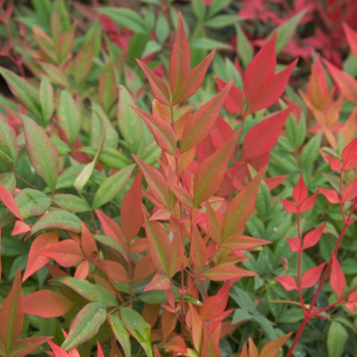 #1 Nandina d. Obsession/Compact