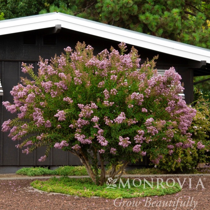 #30 Lagerstroemia x Muskogee/Crape Myrtle Light Lavender