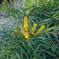#2 Mahonia eury Soft Caress/Oregon Grape Holly