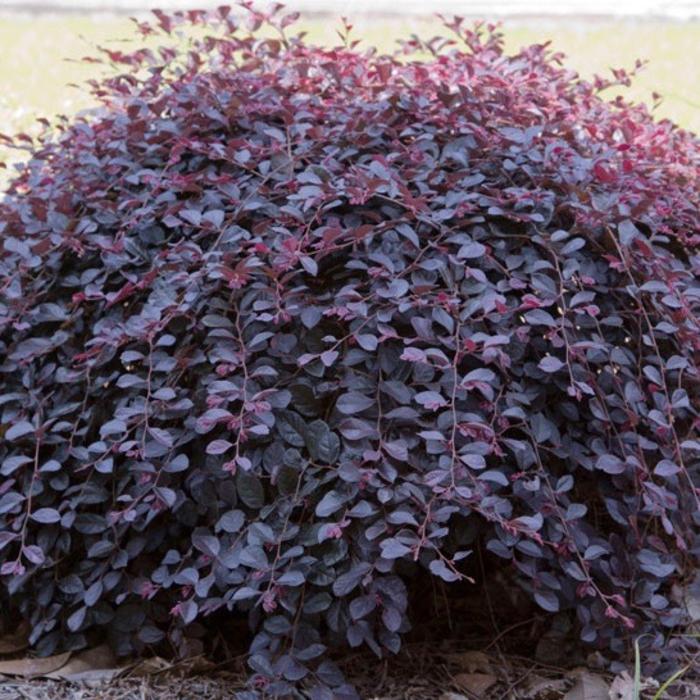 #2 Loropetalum chin Purple Pixie/Fringeflower NO WARRANTY