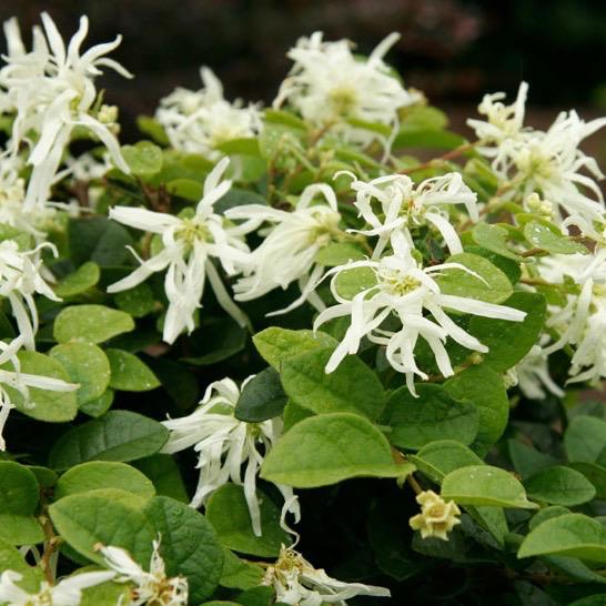 #3 Loropetalum chin Emerald Snow/Fringeflower White NO WARRANTY