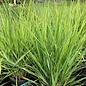 #1 Grass Panicum virg Northwind/Switch