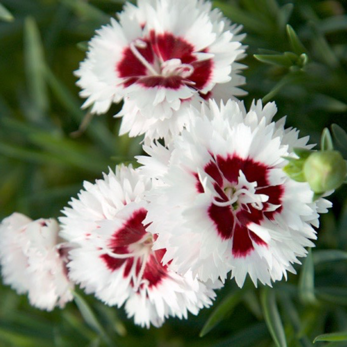 #1 Dianthus Scent First Coconut Surprise