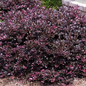 #3 Loropetalum chin Purple Diamond/Fringeflower NO WARRANTY