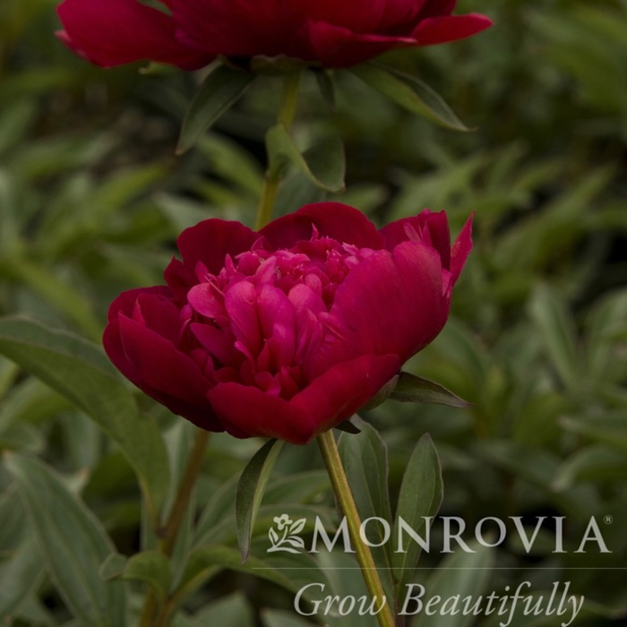 #2 Paeonia x Inspecteur Lavergne/Peony Dbl Ruby Red