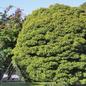 #3 Acer pal Sharp's Pygmy/Japanese Maple Green Dwarf