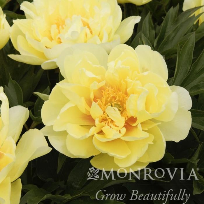 #5 Paeonia Itoh Bartzella/Hybrid Tree Peony Dbl Yellow