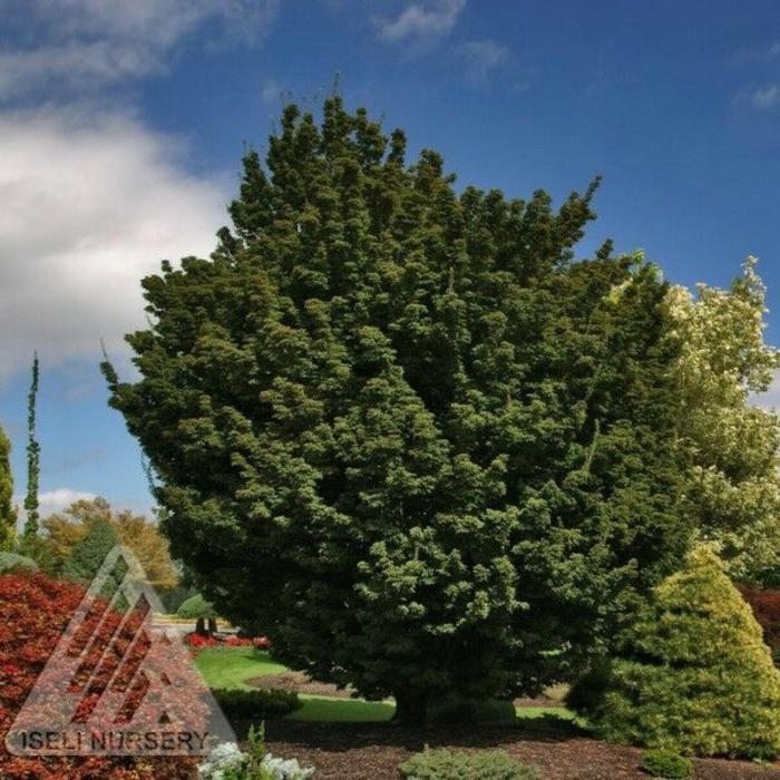 #15 Acer pal Shishigashira/Lion's Head Japanese Maple Green Upright