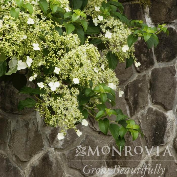 #2 Hydrangea petiolaris/Climbing