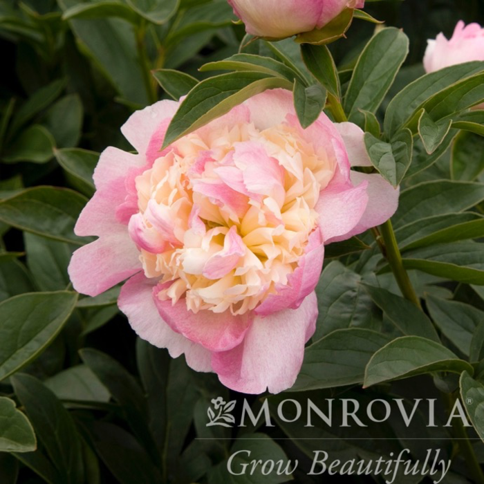 #2 Paeonia x Raspberry Sundae/Peony Dbl Pink w/ Cream Tones