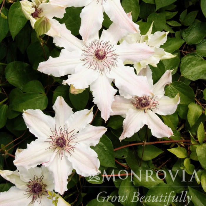 #1 Clematis Vancouver Fragrant Star