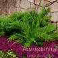 #2 Juniperus chin Mint Julep/Chinese Juniper Spreading