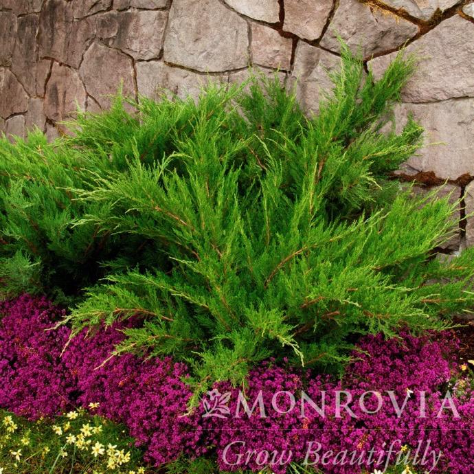 #5 Juniperus chin Mint Julep/Chinese Juniper Spreading