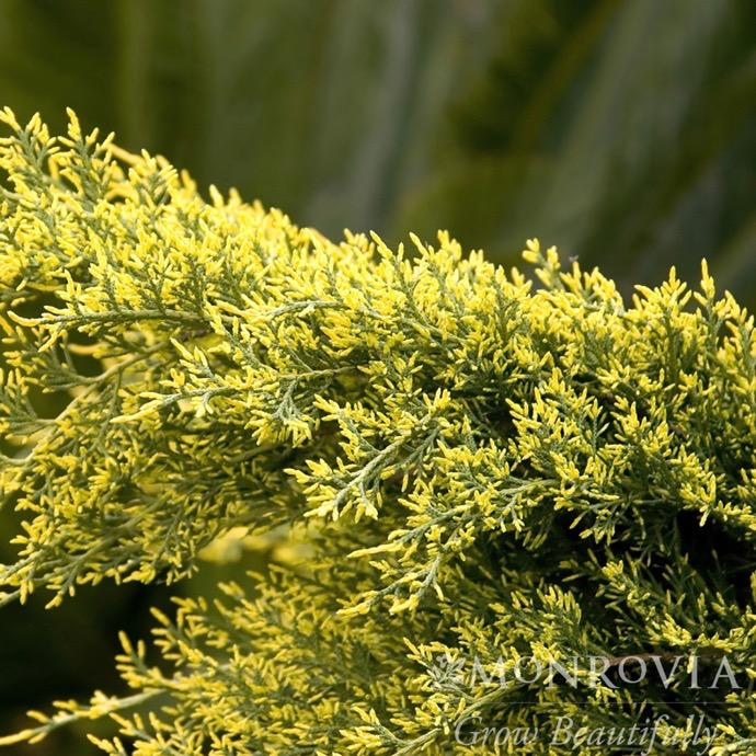 #1 Juniperus x pfitz Sea Of Gold/Pfitzer Juniper Spreading