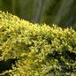 #2 Juniperus x pfitz Sea Of Gold/Pfitzer Juniper Spreading