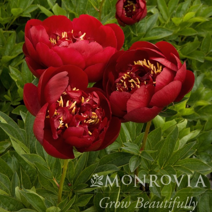 #2 Paeonia x Buckeye Belle/Peony Dbl Dark-Red