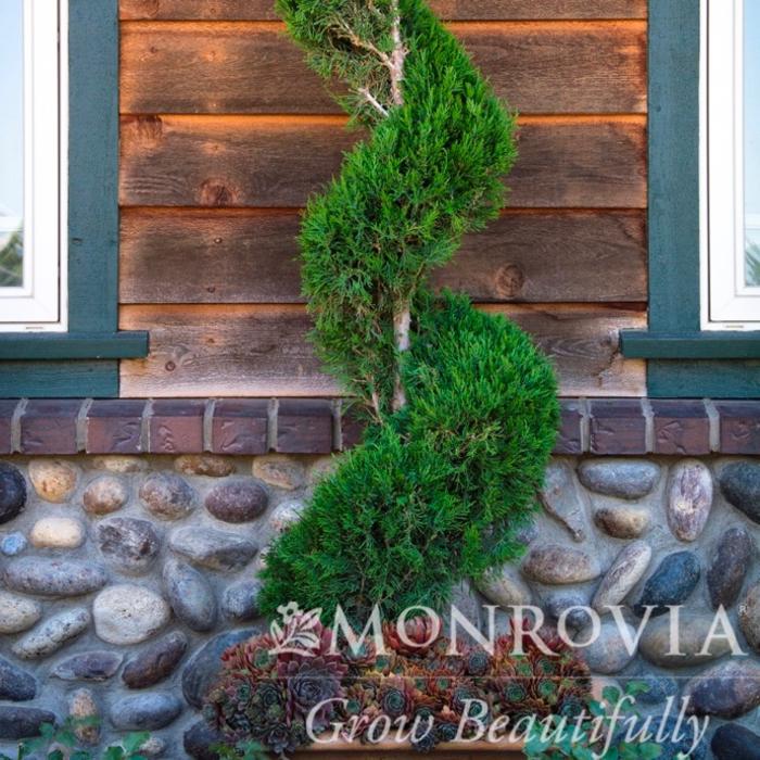Topiary #10 SP Juniperus chin Spartan/Chinese Juniper Spiral