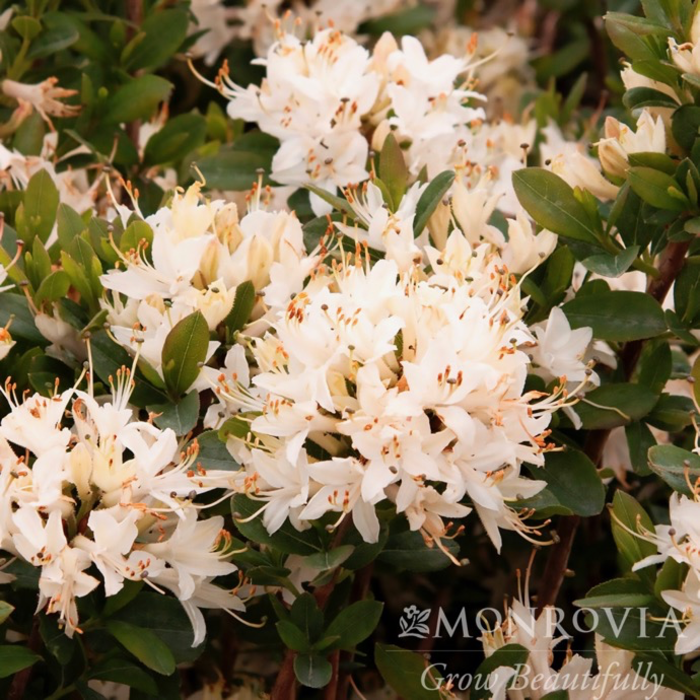#2 Azalea Fragrant Star/Deciduous