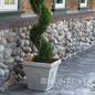 Topiary #15 SP Juniperus chin Mint Julep/Chinese Juniper Spiral