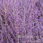 #1 Perovskia atrip/Russian Sage