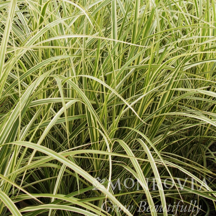 #1 Grass Miscanthus sine Variegatus/Japanese Silver Variegated