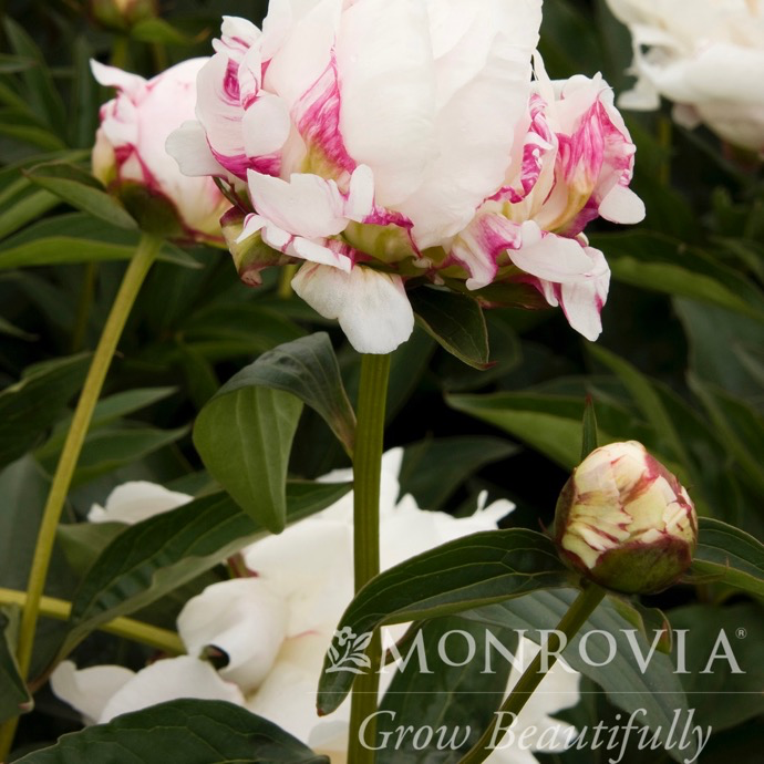 #2 Paeonia x Shirley Temple/Peony Dbl White w/ Rose Center