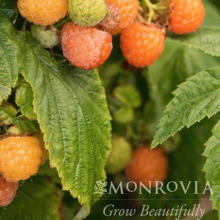 Edible #1 Rubus Fall Gold/Raspberry