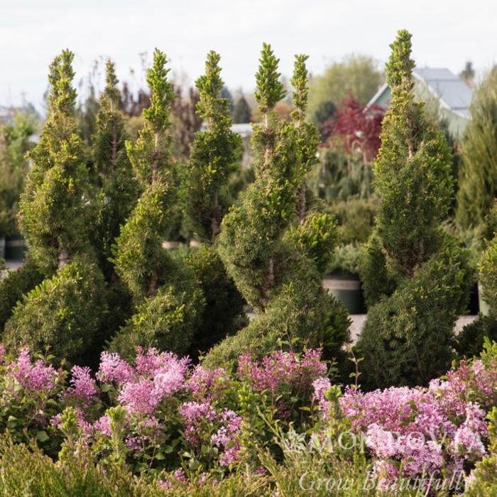 Topiary Spiral #10 Picea glauca 'Conica'/Dwarf Alberta Spruce NO WARRANTY