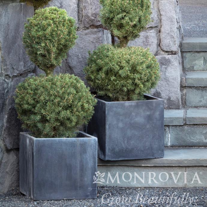 5 Topiary 3 Ball Poodle Picea Glauca Conicadwarf Alberta Spruce No Warranty