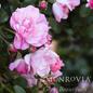 #2 Rosa Flower Carpet Appleblossom/Rose NO WARRANTY