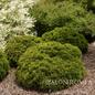 #1 Thuja occ Danica/Arborvitae Dwarf Globe
