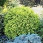 #5 Thuja occ Golden Globe/Arborvitae Globe
