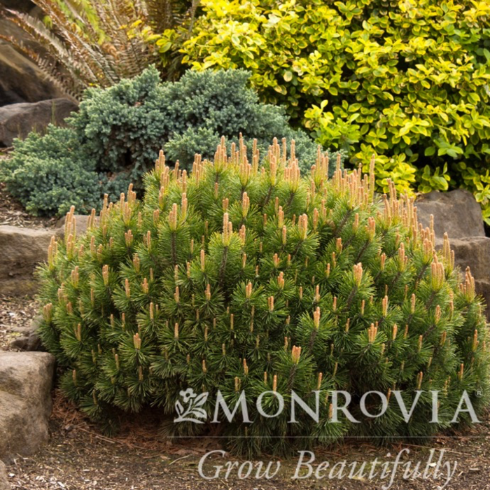 #2 Pinus mugo Pumilio/Dwarf Mugo Pine