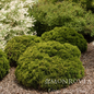#2 Thuja occ Danica/Arborvitae Dwarf Globe