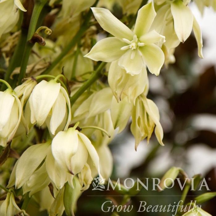#5 Yucca rec Pendula/Soft Leaf