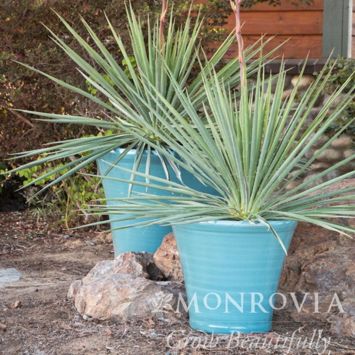 #5 Yucca f Ivory Tower